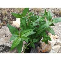 Coriandre vietnamienne (Persicaria odoratum)