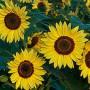Tournesol à petites fleurs (Helianthus annuus)