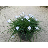 Etoile du printemps (Ipheion uniflorum)